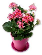 Hoa sống đời đơn màu hồng 2