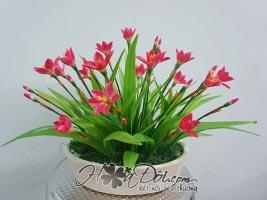 Hoa móng tay (phong huệ) đỏ